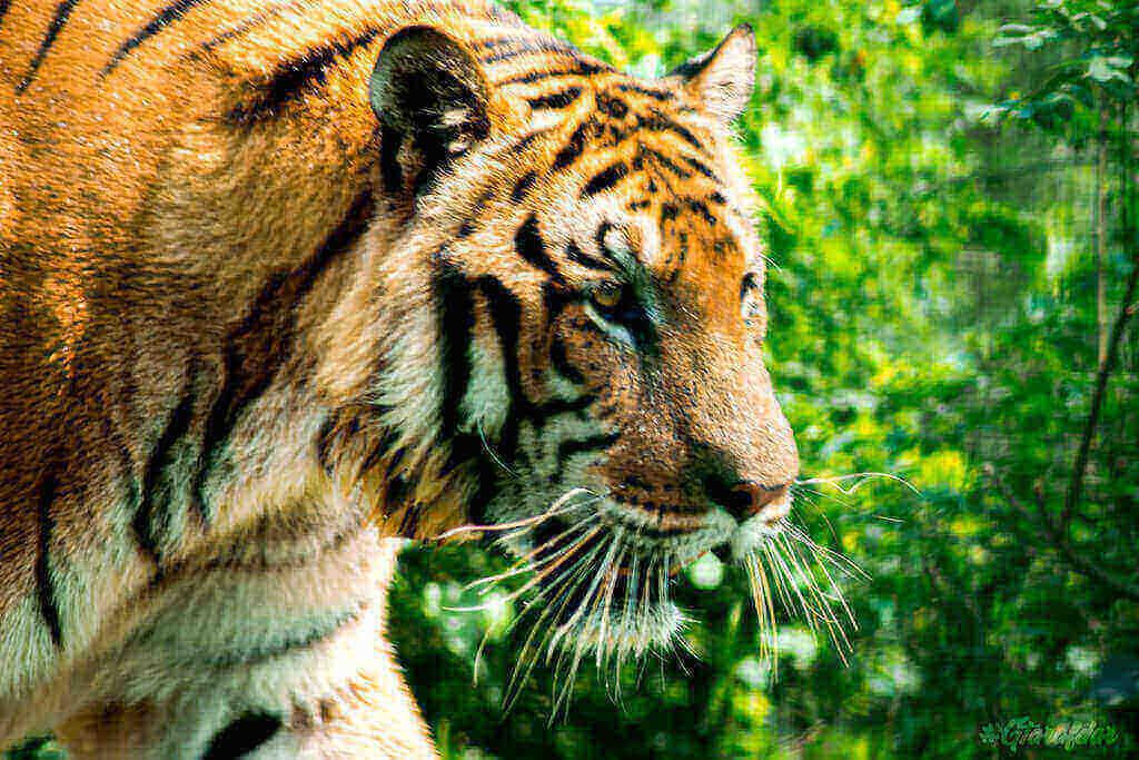 Gtarafdar Tiger